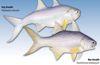 ca-nhu-threadfin