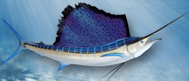 atlantic-sailfish-large