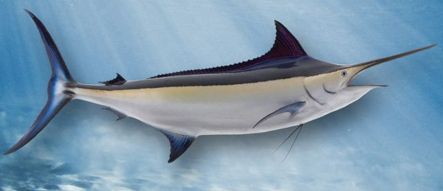 black-marlin-large