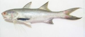 Ca-chet-Indian_Threadfin