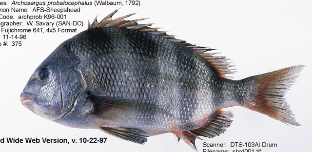 Ca-trap-sheepshead