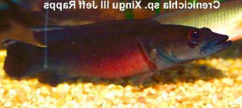 Crenicichla sp. Xingu III
