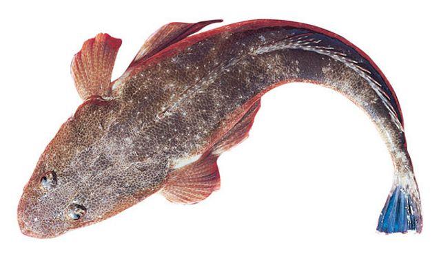 Dusky-flathead-Platycephalus-fuscus
