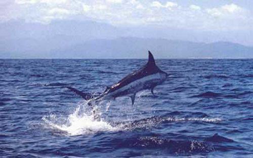 its_a_swordfish