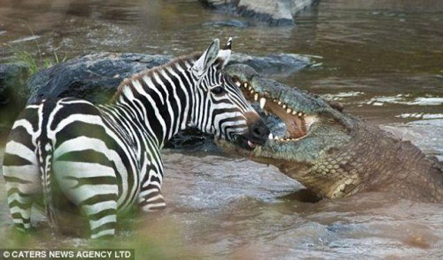 mara-river-croc8