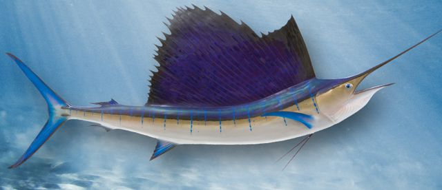 pacific-sailfish-large