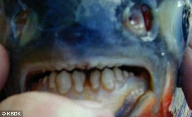 Pacu-fish-1