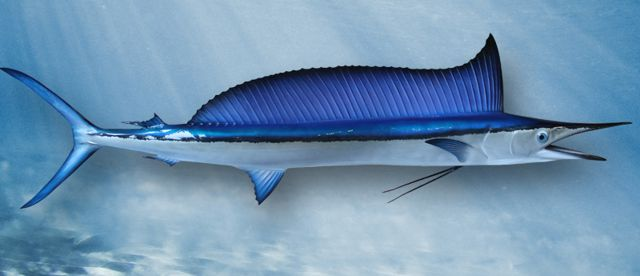 shortnose-spearfish-large
