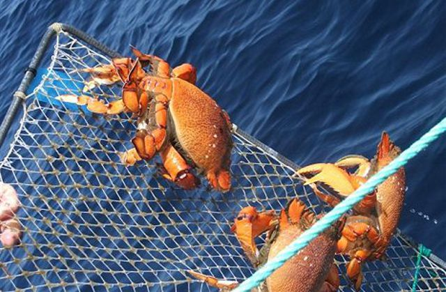 spanner-crabs-commercial-fishing