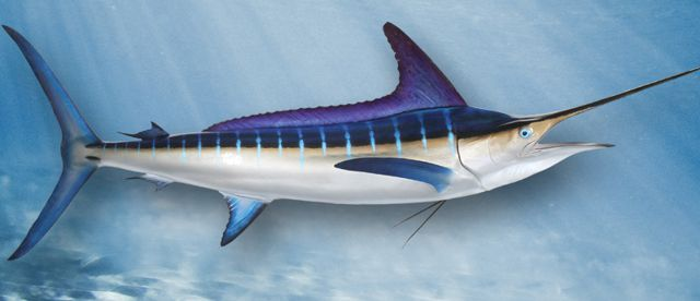 striped-marlin-large