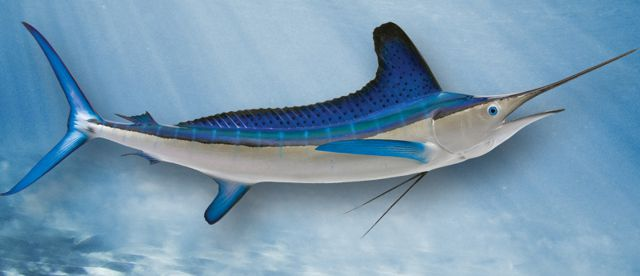 white-marlin-large