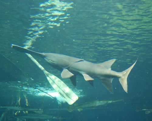Ca-tam-thia-paddlefish