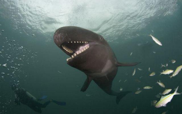Ca-voi-sat-thu-gia-hieu_False-Killer-whale_2 Loài sinh vật ...