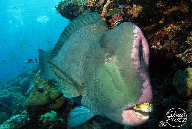 Parrotfish-2