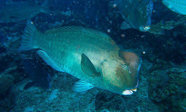 Parrotfish-3