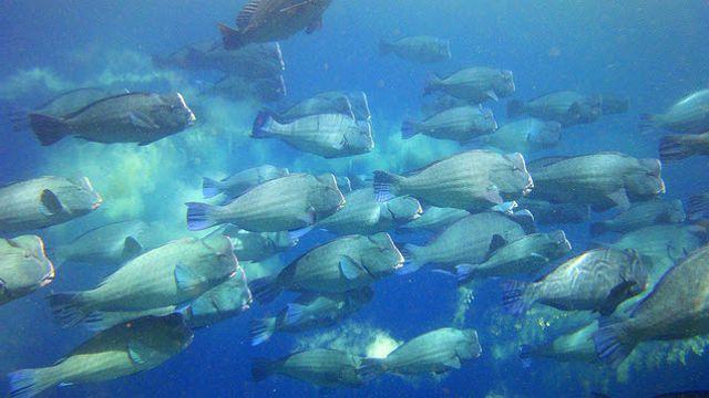Parrotfish-4