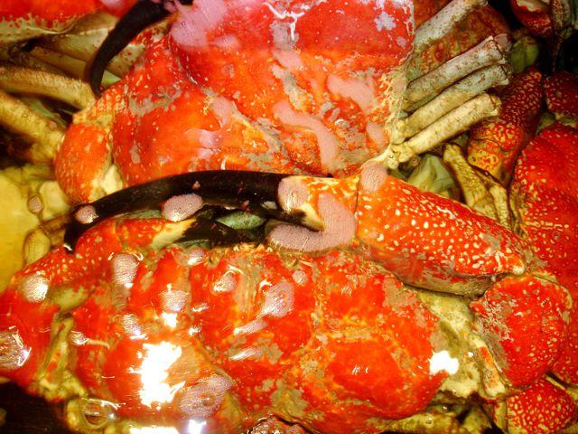 Tasmanian-crab-2