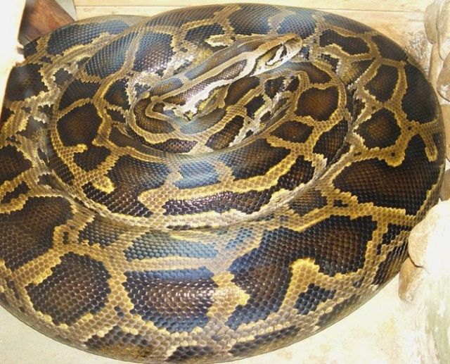 19-foot-python-killed-biggest-florida-burmese