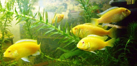 Electric-Yellow-fish
