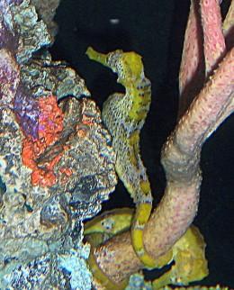 Longsnout-Seahorse