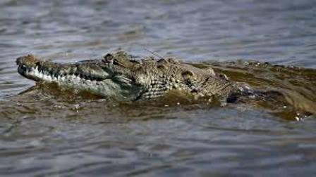 crocodile-kills-pregnant