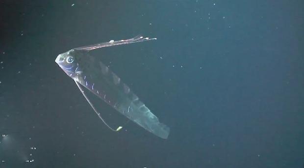 oarfish1