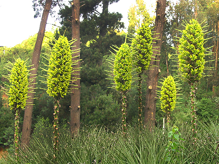 puya_chilensis_form