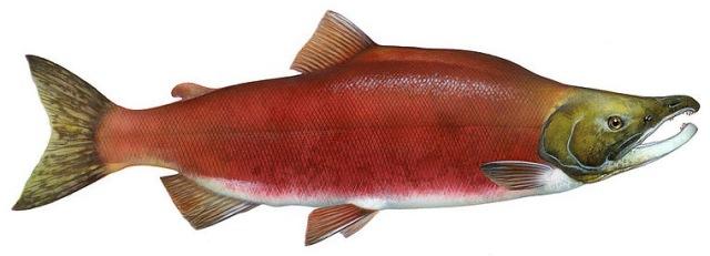 salmon_sockeye
