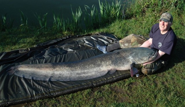 wels-catfish-1