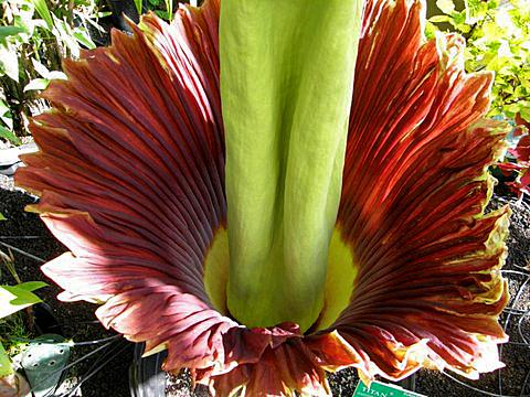 Amorphophallus titanum plant