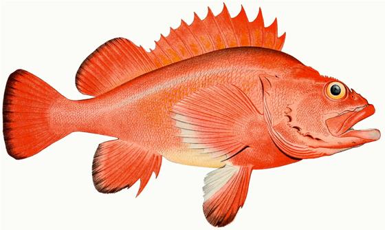 Rougheye_Rockfish