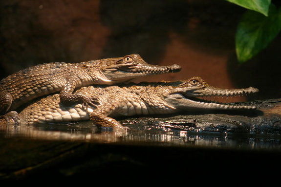crocodiles-mating
