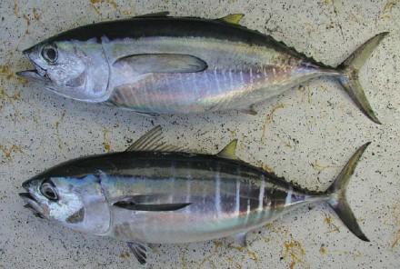 Phân biệt cá ngừ 1