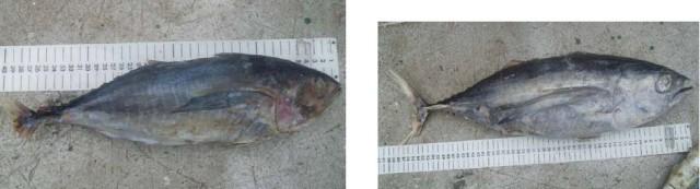 Phân biệt cá ngừ 2
