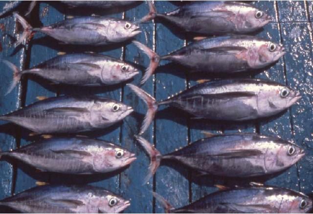 Phân biệt cá ngừ 3