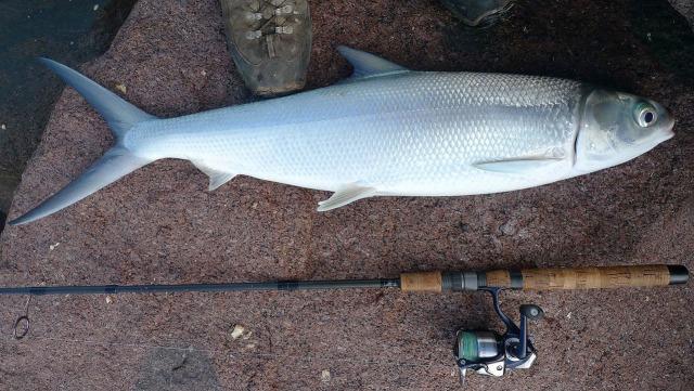 milkfishing