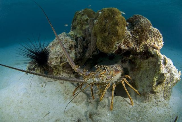 Lobster 7