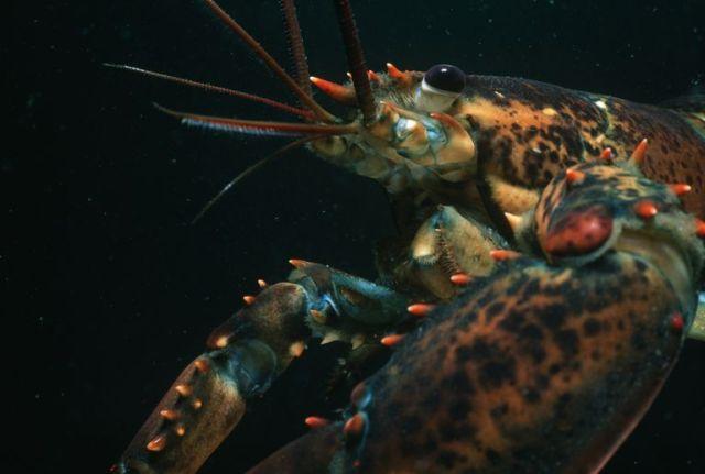 Lobster 9