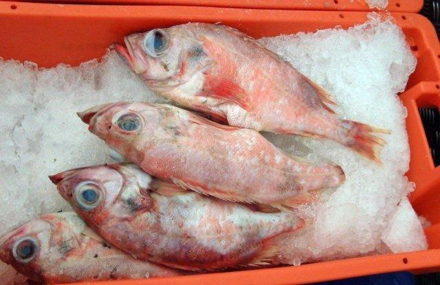 Rose_fish_2011