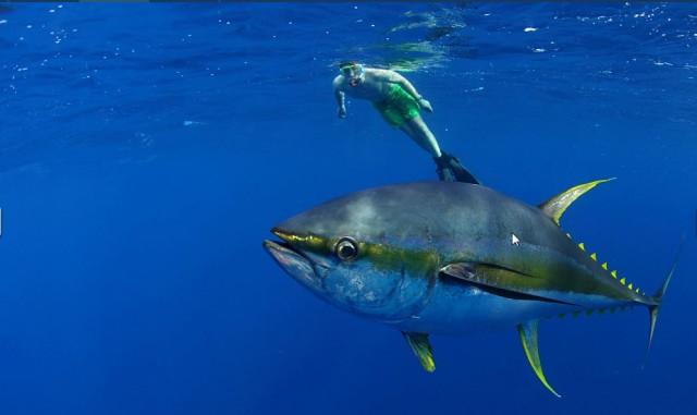 YF tuna 2
