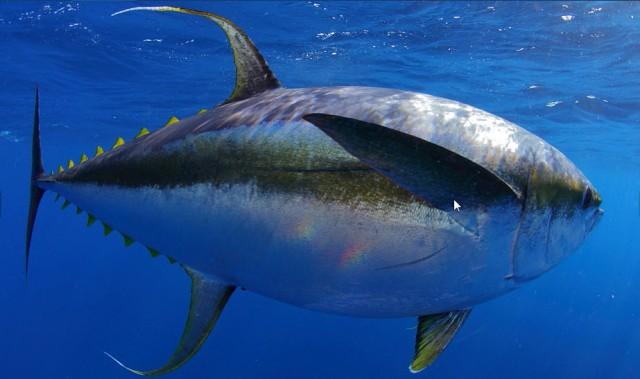 YF tuna 3