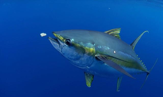 YF tuna 4