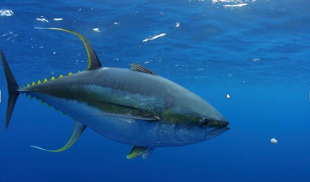 YF tuna 6