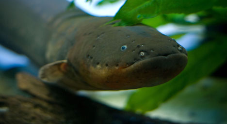 electric_eel2